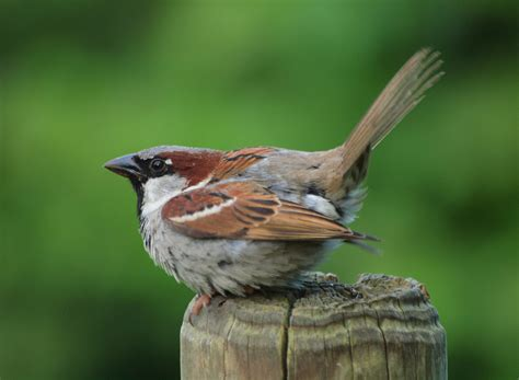 show me a picture of a sparrow house sparrow introduction birdnote