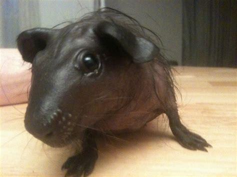 napa valley caviary baldwin guinea pigs hairless cavy