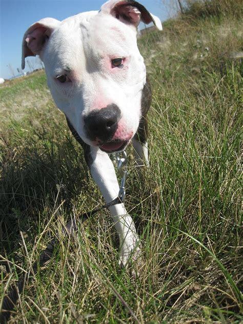 adoptable pitbull lila thatmuttcom