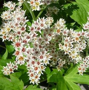 Couvre Sol Vivace : plante vivace couvre sol mukdenia rossii karasuba ~ Premium-room.com Idées de Décoration