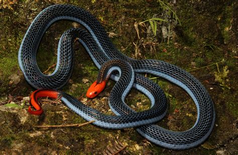 This snake is a killer of killers - UQ News - The ...