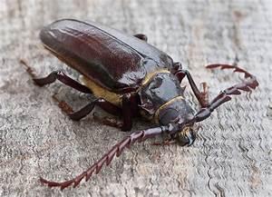 Pine Sawyer Beetle | Pine Sawyer Beetle. Found him near ...