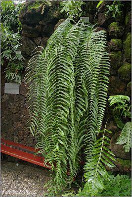 samambaia de metro fotos google search fern ferns