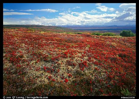 picturephoto tundra   lying leaves  bright red