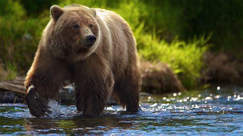 bear wallpaper mobile animals wallpapers pinterest