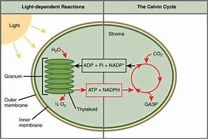 Unit 2 Photosynthesis  Respiration  And Macromolecules