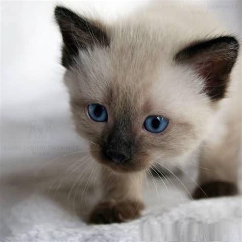 50+ Amazing Siamese Cats For Home Golfiancom