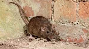 Mäuse Bekämpfen Haus : schutz vor ratten im haus gvb hausinfo ~ Michelbontemps.com Haus und Dekorationen