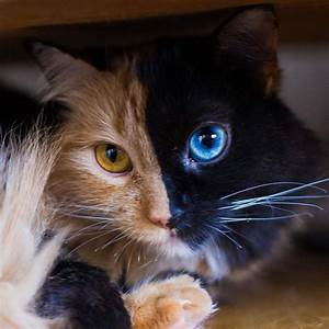 Stunning Two-Faced Chimera Cat 'Quimera'