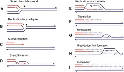 the leading strand template forms a priming loop repair of a collapsed replication fork by bir when a re
