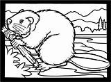 Coloring Beaver Pages Beavers Clipart Colouring Dam Printable Canadian Wood Animals Wildlife Funny Drawing Bever Drawings Clip Building Chewing Hill sketch template
