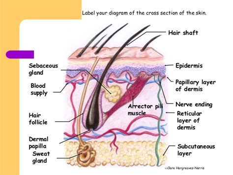 Skin Cell Diagram Label by What Causes Goose Bumps Which Vertebrae Don T