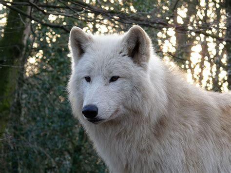 Arctic Wolf Dankos Unlmtd Flickr