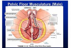 Pelvic Floor Muscles Diagram