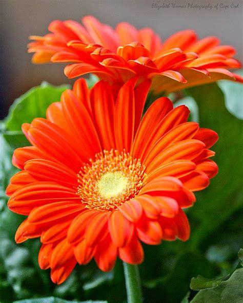 gerbera daisies colors best 25 gerber daisies ideas on paper