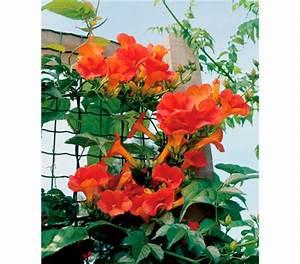 Kletterpflanzen Mehrjährig Winterhart : trompetenblume 39 mme galen 39 klettertrompete dehner ~ Michelbontemps.com Haus und Dekorationen