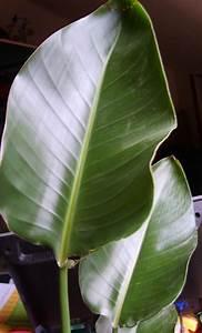 Grande Plante Verte : plante grande feuille au jardin forum de jardinage ~ Premium-room.com Idées de Décoration
