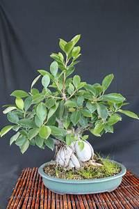 Bonsai Ficus Ginseng : ginseng ficus bonsai ~ Buech-reservation.com Haus und Dekorationen