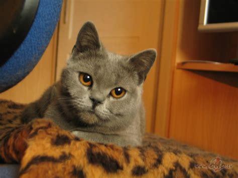 Britu kaķu raksturs   Dzīvnieki   jautajums.lv