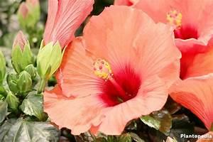 Wann Schneidet Man Hibiskus : hibiskus schneiden hibiskus schneiden ran an den ~ Lizthompson.info Haus und Dekorationen