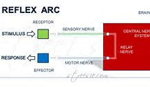 Hd wallpapers reflex arc flow diagram 27patterndesktop hd wallpapers reflex arc flow diagram ccuart Choice Image