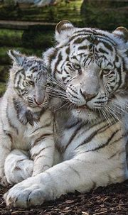25 Best White Tiger Photographic | Animals beautiful, Cute ...