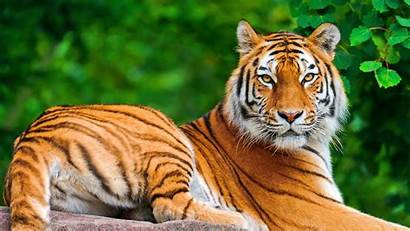 Animals Wild Tiger Animal Wallpapers Background Tigers