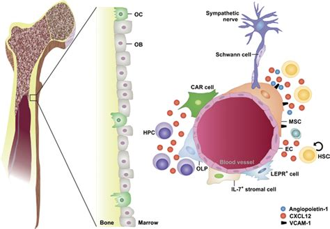 The Hematopoietic Stem Cell Niche. Various Cell Types