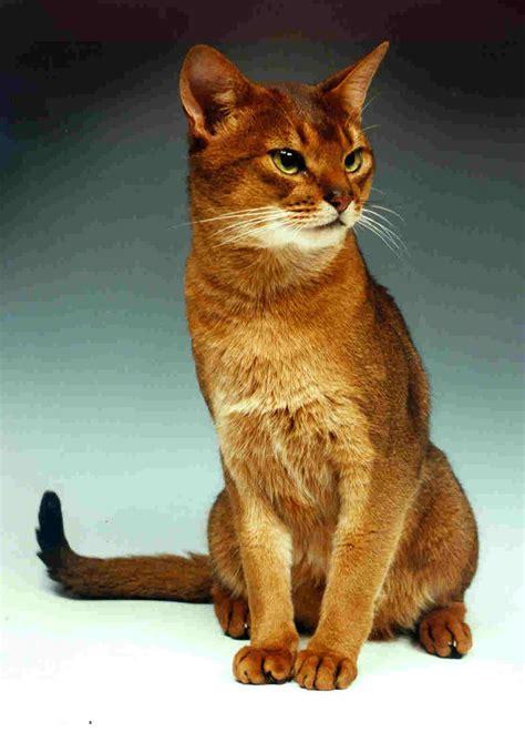 Abessijn | Platform Verantwoord Huisdierenbezit