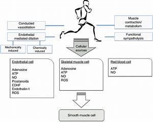 Regulation Of Skeletal Muscle Blood Flow During Exercise