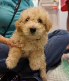 Maltipoo Rescue Dogs for Adoption
