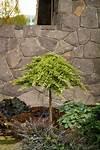 Dwarf Japanese Garden Juniper - Monrovia - Dwarf Japanese ornamental trees japanese gardens