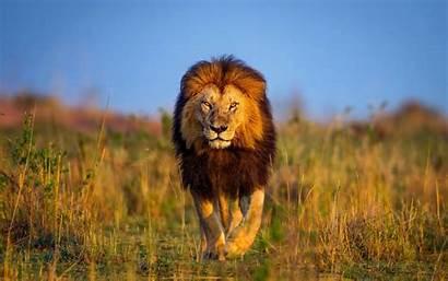 Lion Resolution 1080p