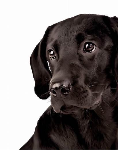 Labrador Dog Retriever Transparent Lab Eyes Face