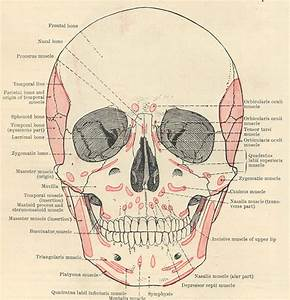 Facial Muscles Diagram   Biological Science Picture Directory  U2013 Pulpbits Net