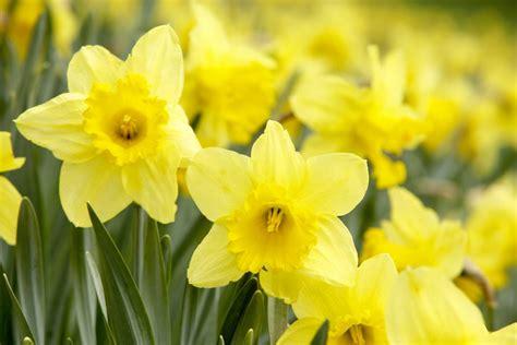 analysis  daffodils  william wordsworth