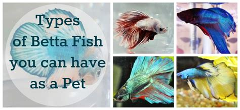types  betta fish      pet