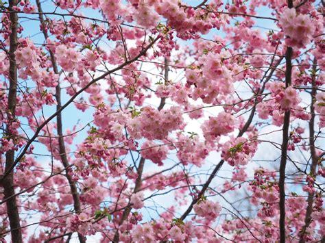 Images Gratuites : arbre branche pétale printemps