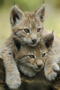 Lynx Cat with Kitten