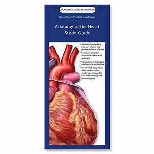 Anatomy Of The Heart Study Guide