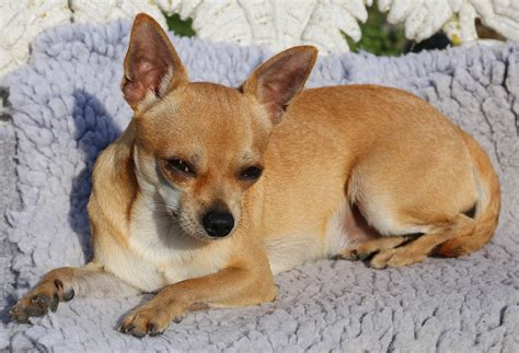 tan smooth chihuahua  image peakpx
