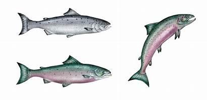 Salmon Salar Salmo Atlantic Adult Living Illustration