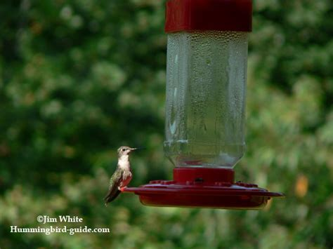 hummingbird nectar recipe how to make homemade