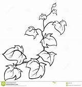 Vines Vine Coloring Pages Ivy Drawing Plant Drawn Leaf Vector Template Clipart Hand Sketch Jungle Pattern Pumpkin Creeping Pencil Woody sketch template