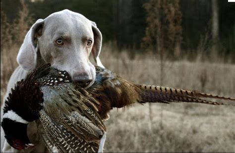 list   dogs breeds type  dogs  pictures sporting group