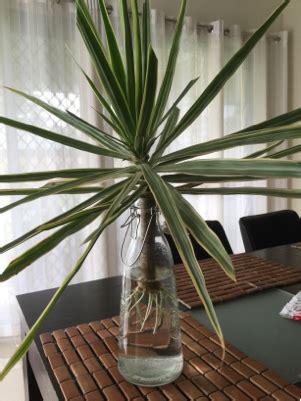 planting   properly plant dracaena