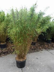 Bambus Zurückschneiden Frühjahr : fargesia murielae 39 jumbo 39 gartenbambus 39 jumbo 39 175 200 cm container g nstig bestellen fargesia ~ Whattoseeinmadrid.com Haus und Dekorationen