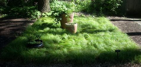 pennsylvania sedge lawn 17 best images about gardening ground covers and lawn alternatives on pinterest gardens sun