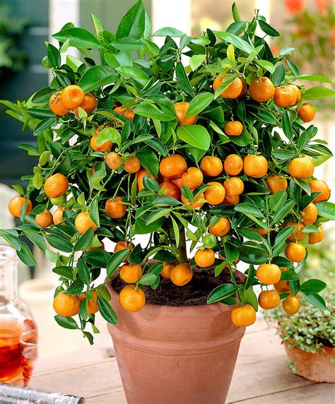Small Kitchen Design Ideas - buy a container plant now calamondin calamondin bakker com