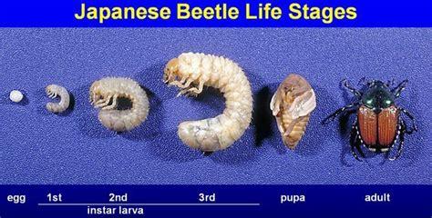 grub worms turn into june bugs grubbin pokemon evolution images pokemon images